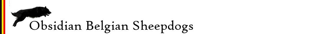 Obsidian Belgian Sheepdogs